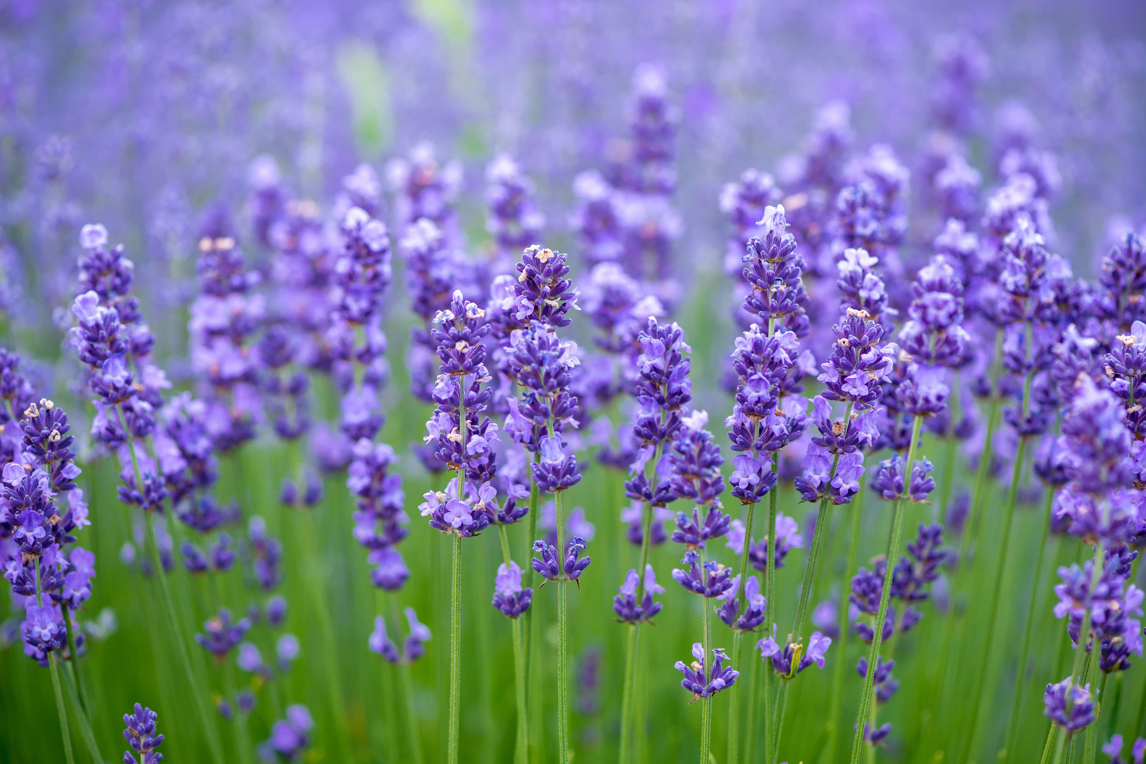 meadow-of-lavender-nature-composition-selective-royalty-free-image-539988160-1533825462